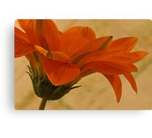 Flaunting Gazania Canvas Print