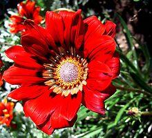 Red daisy by cathysroom