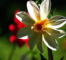 White Daffodil by cathysroom