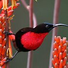Colorful birds of Southern Africa by jozi1