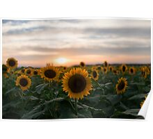 Sunflower and sunset Poster