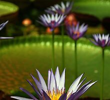 Water lilies by cathysroom