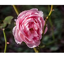 A Pink Rose  Photographic Print
