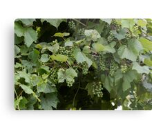 grape and vineyard after rain Metal Print
