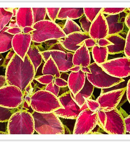 Red Coleus plants closeup Sticker