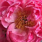 Coral Peony by Christine Wilson