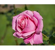 Yet another Pink Rose Photographic Print