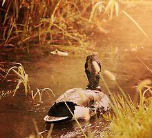 Duck Swimming Down Stream Sunshine by alyphoto