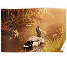 Duck Swimming Down Stream Sunshine Poster