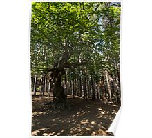 Venerable Forest Guardian - an Ancient Beech Tree Guarding a Pine Forest Poster