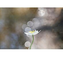 Wood Anemone Photographic Print