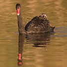 Dusk Swan by byronbackyard