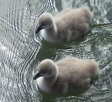 Swan chicks by Roz McQuillan