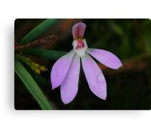Pink Lady Finger Orchid .. Caladenia carnea Canvas Print