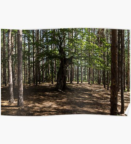 Surrounded - an Ancient Beech Tree in a Pine Forest Poster