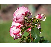 Bouquet. Roses Photographic Print