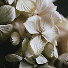 hydrangea by Sue Hammond