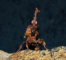 Ghost Mantis - Phyllocrania paradoxa by AnnDixon