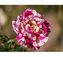 The Variegated Rose Photographic Print