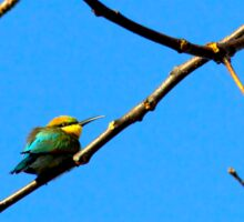 The rainbow bee-eater (Merops ornatus) Sticker