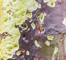 Gum Tree Detail #2 by Elaine Teague