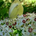 White butterfly by Ana Belaj