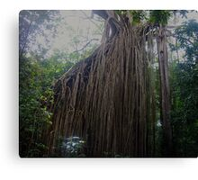 Curtain Fig Tree - Yungaburra, Qld, Australia.  Canvas Print