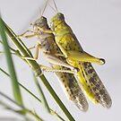 Schistocerca gregaria by Mythos57