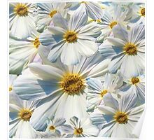 marguerites, daisy Poster