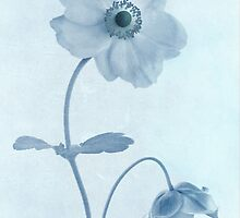Cyanotype Windflowers by John Edwards