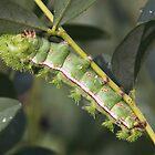 Io caterpillar by Alice Kahn