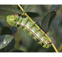 Io caterpillar Photographic Print