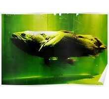 A living coelacanth. Poster