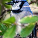 717 bluebird by pcfyi