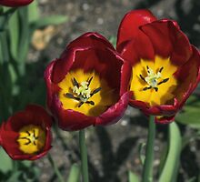 Triple Tulips by Ian Mitchell