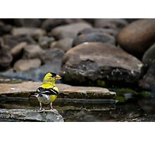 Male American Goldfinch Photographic Print