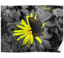 Butterfly on a yellow flower Poster