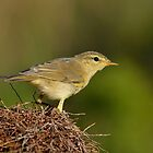 Willow warbler (Phylloscopus trochilus) by Peter Wiggerman