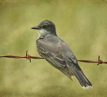 Eastern Kingbird by Sandy Keeton