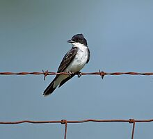 Eastern Kingbird on Wire by Sandy Keeton