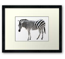 zebra on white background Framed Print