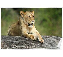 Tsalala sub adult lioness Poster
