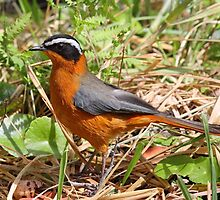 A White Browed Robin-Chat by jozi1
