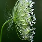 Profile of a Queen - Queen Anne's Lace Wildflower by MotherNature2