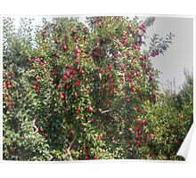 Bearing Apples Poster
