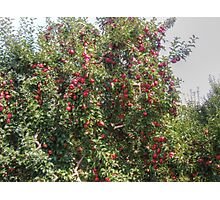Bearing Apples Photographic Print