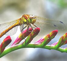Today I saw the dragon-fly by Mortimer123