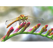 Today I saw the dragon-fly Photographic Print
