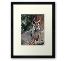 Red-necked wallaby Framed Print