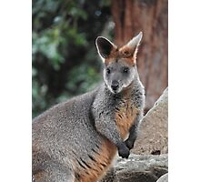 Red-necked wallaby Photographic Print